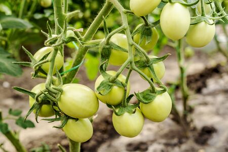 Unripe beautiful tomatoes on a branch in greenhouse. Organic home production of food