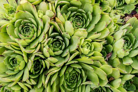 Molodilo or a stone rose in people is called hare cabbage. Succulent cactus. Green plant for natural background. Top view, close up.