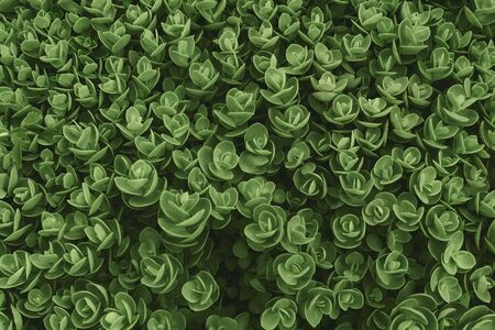 Top view of Sedum ewersii green houseplant. Green leaves pattern background. Natural background and wallpaper. Growing houseplants. Selective focus.