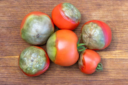 Diseases of tomatoes. Ripe red tomatoes stricken Phytophthora or Phytophthora infestans lies on old wooden background. Fighting Phytophthora.