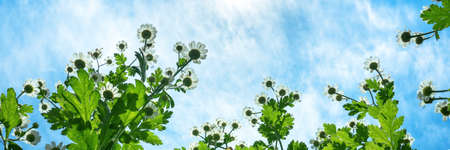 Banner of chamomiles grow on a meadow against clear blue sky, bottom view. Summer wildflowers daisies, medicine plants grow up to the sun. The summer landscape.