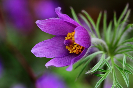 pulsatilla: Pulsatilla easter flower on the meadow. Macro photography of nature.