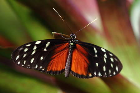 Tropical Butterfly Dido Longwing macro in green leafs Stock Photo