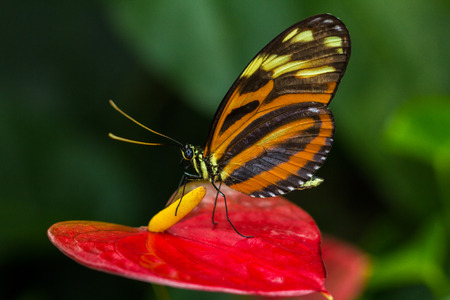 Tropical Butterfly Tiger Longwing on the calla flower.