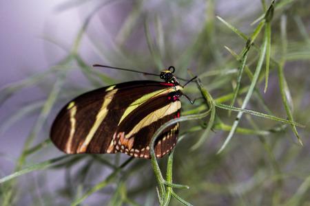 longwing: Tropical Butterfly Dido Longwing macro in green leafs.