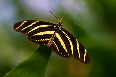 longwing: Tropical butterfly dido longwing on the leaf. Macro photography of Wildlife.