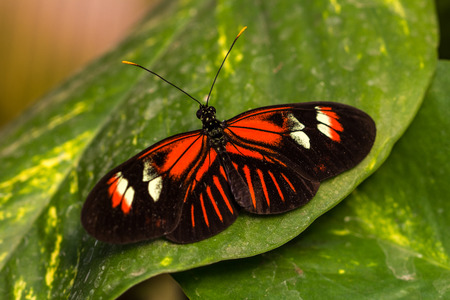 longwing: Tropical butterflies scarce bamboo page on the leaf. Macro photography of wildlife. Stock Photo