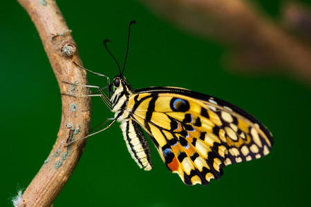 papilio demoleus: Tropical butterfly common lime on the tree. Macro photography of wildlife. Stock Photo