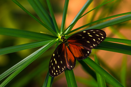 longwing: Tropical butterflies dido longwing on the leaf. Macro photography of wildlife.