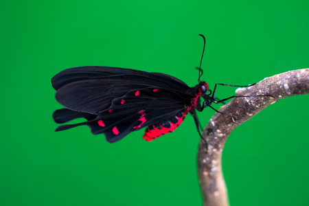 nymphalidae: Black tropical butterfly on the tree. Macro photography of nature.