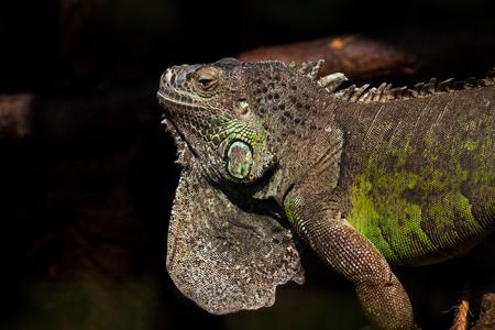 varanus: Portrait of monitor lizard varanus