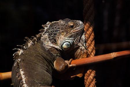 varanus: Portrait of monitor lizard varanus.