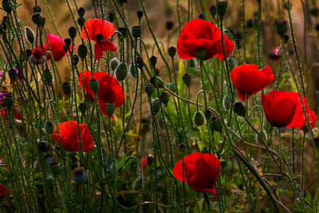 Wild field with papaver flowers. Photography of nature. Standard-Bild