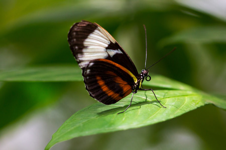 Portrait of tropical heliconius cydno butterfly on the leaf.