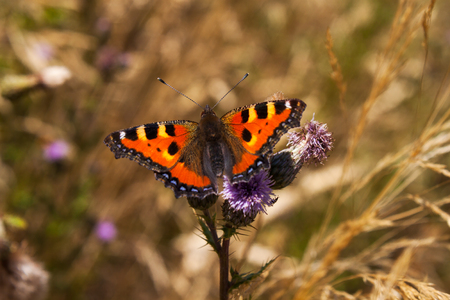 tortoiseshell: Portrait of small tortoiseshell butterfly on the flower. Photography of wildlife. Stock Photo