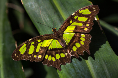 Portrait of malachite butterfly on the leaf. Macro photography of wildlife