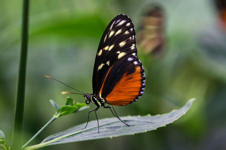 Portrait of tropical heliconius hecale butterfly on the leaf.