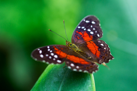 scarlet: Portrait of scarlet peacock butterfly on the leaf.