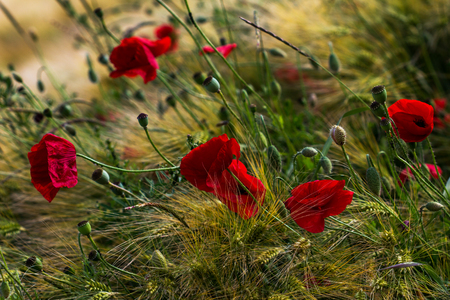 papaver: Wheat field with papaver flowers. Photography of nature.