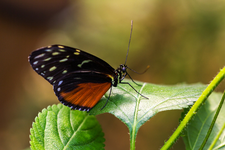 longwing: Close-up of tropical butterfly scarce bamboo page on the leaf. Macro photography of wildlife. Stock Photo