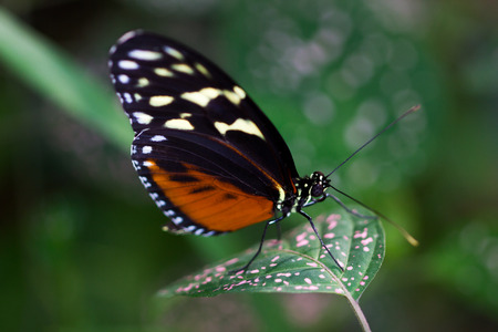 longwing: Close-up of tropical scarce bamboo page butterfly the leaf. Macro photography of wildlife. Stock Photo
