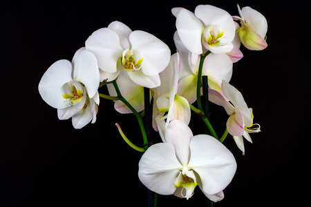 Close-up of white orchid flower. Zen in the art of flowers.