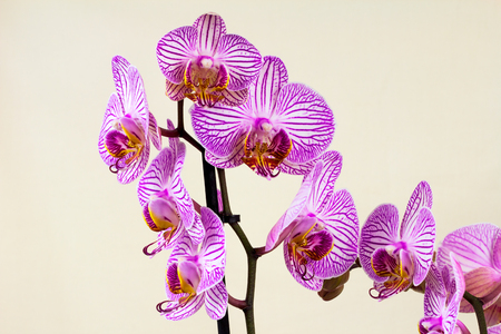Close-up of orchid flower. Zen in the art of flowers. Macro photography of nature.