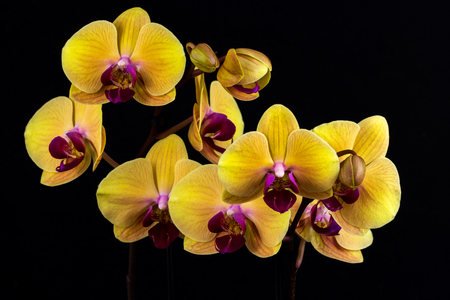 Close-up of yellow orchid flower. Zen in the art of flowers. Macro photography of nature.