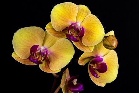 Close-up of yellow-pink orchid flower. Zen in the art of flowers. Macro photography of nature. Stock Photo