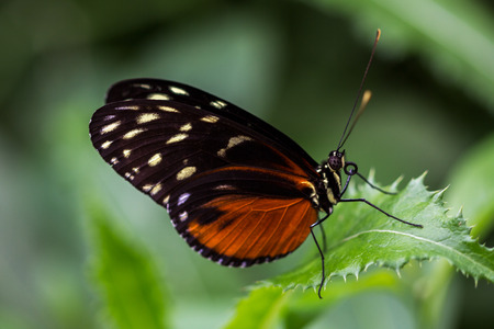 Close-up of tropical heliconius hecale butterfly on the leaf. Stock Photo