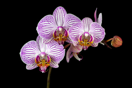 Close-up of white-pink striped orchid flowers. Zen in the art of flowers. Macro photography of nature. Standard-Bild