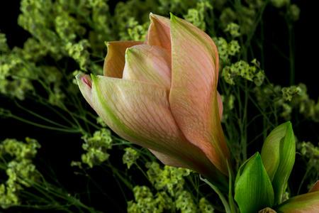 Close-up of pastel amaryllis flower. Zen in the art of flowers. Macro photography of nature. Standard-Bild