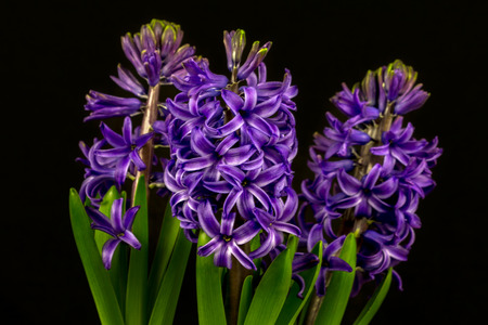 Close-up of blue pearl hyacinth flowers. Photography of nature. Standard-Bild