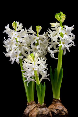 Close-up of white pearl hyacinth flowers. Photography of nature. Standard-Bild