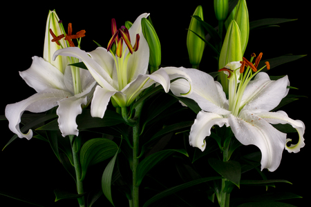 lily flowers: Close-up of white lily flowers. Zen in the art of flowers. Macro photography of nature.