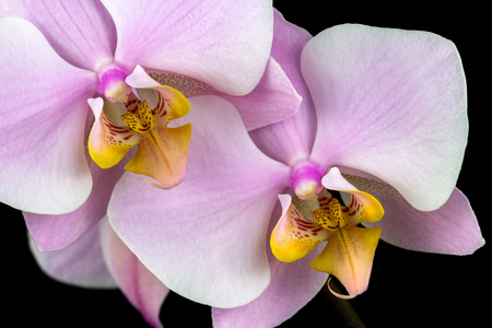 Close-up of pastel rosa orchid flower. Zen in the art of flowers. Macro photography of nature.