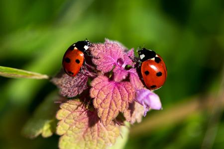 Ladybugs on the meadow. Macro photography of wildlife.