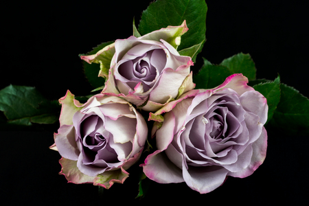 Close-up of lilac rose flowers. Photography of nature.
