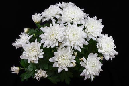 Close-up of white chrysantemum flowers. Macro photography of nature. Standard-Bild