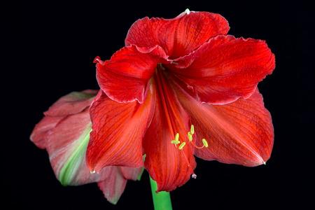Nahaufnahme der bunten Amaryllisblume. Zen in der Kunst der Blumen. Makrophotographie der Natur. Standard-Bild