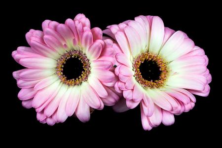 Nahaufnahme von Pastell Germini-Blumen. Zen in der Kunst der Blumen. Makrophotographie der Natur.