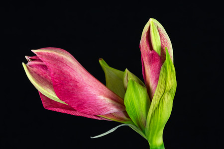 Close-up of pink amaryllis flower. Zen in the art of flowers. Macro photography of nature. Standard-Bild