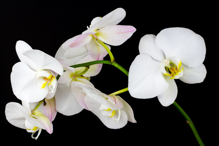 Close-up of white orchid flower. Zen in the art of flowers. Macro photography of nature. Standard-Bild