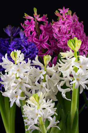 Close-up of hyacinth pearl flowers. Photography of nature.