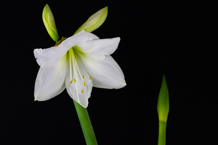 Close-up of white amaryllis flower. Zen in the art of flowers. Macro photography of nature. Standard-Bild