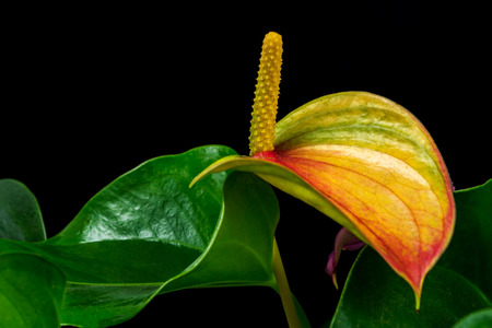 Close-up of multicolor anthurium flower. Macro photography of nature.