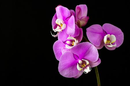 Nahaufnahme der rosa Orchideenblume. Zen in der Kunst der Blumen. Makrofotografie der Natur.