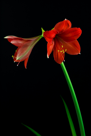 Close-up of red amaryllis flower. Zen in the art of flowers. Macro photography of nature. Standard-Bild