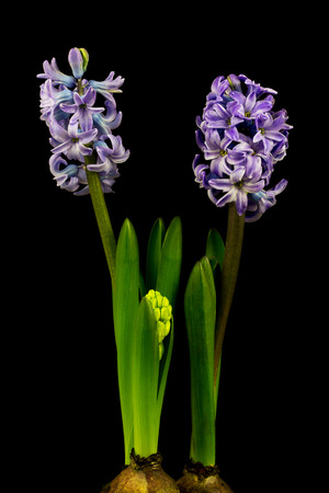 Close-up of lilac pearl hyacinth flowers. Photography of nature. Standard-Bild