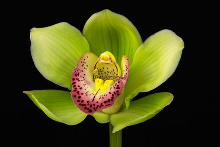 Close-up of green cymbidium boat orchid flower. Zen in the art of flowers. Macro photography of nature. Standard-Bild